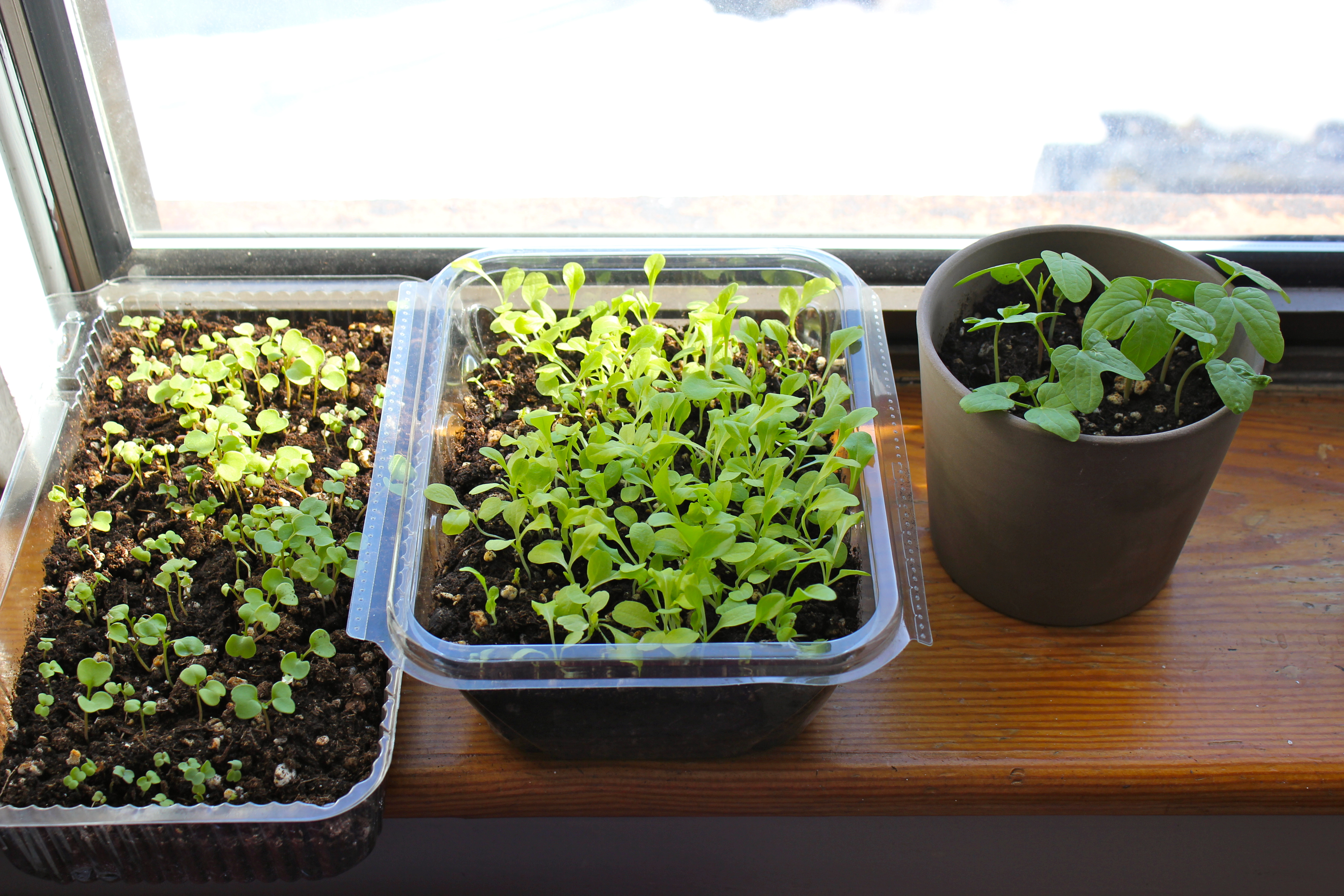 how to start lettuce seeds indoors
